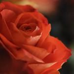 Orange rose_6639