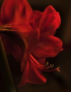 WEB_Rød-orange_liljeF0005