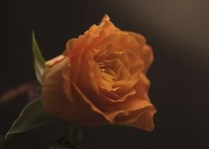 WEB_Orange_rose_0046