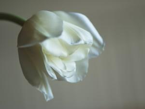 W_Hvit_tulipan_0095