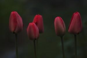 W_5røde_tulipaner_0263