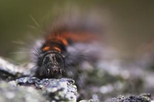 W_Snart-sommerfugl_0038
