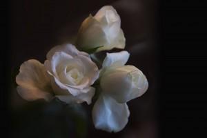 W_1.Hvite-roser-0033
