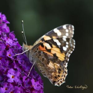 W_Butterfly_TRIERENBERG2016