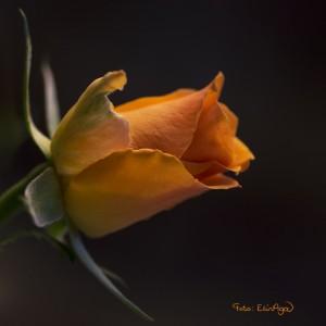 W_En_orange_rose__1705